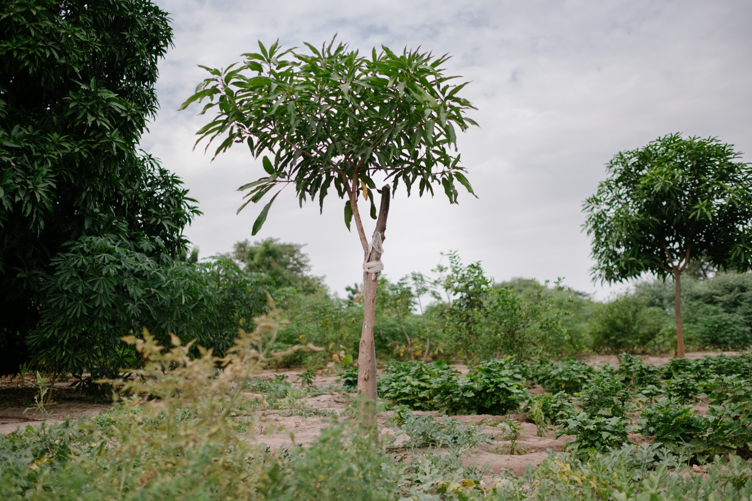 Senegal-Ecosia-Forest-Garden-Agroforestry-trees-climate-change--57-of-103-