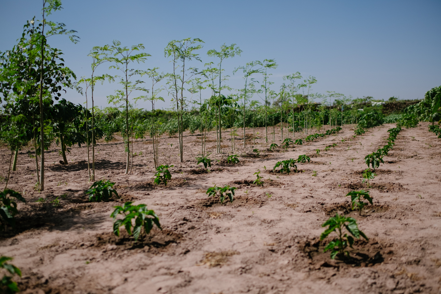 Senegal-Ecosia-Forest-Garden-Agroforestry-trees-climate-change--7-of-103-