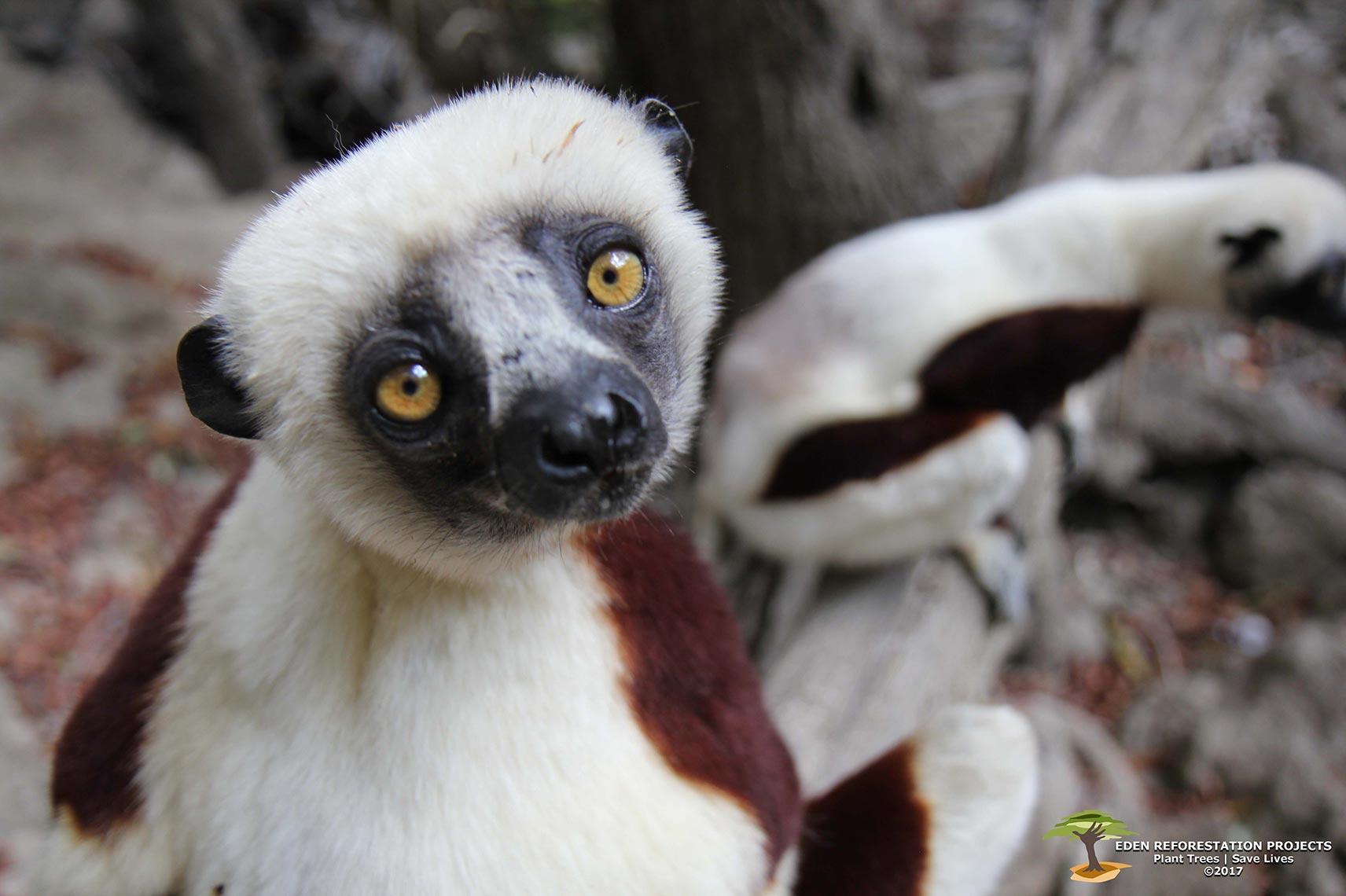Endangered-Sifaka-Ecosia